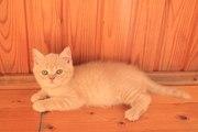 Породистый британский кот