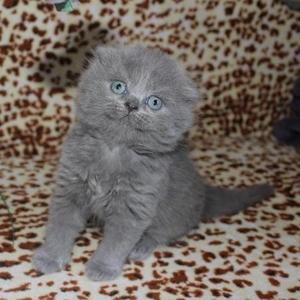 Чистокровные котята Skottish Fold для души и розведения