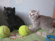 Британские плюшевые короткошерстные  котята