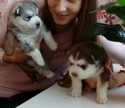 Очаровательные щенки Хаски
